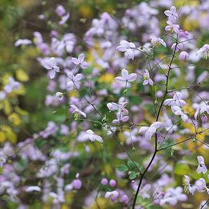 Photo of Thalictrum splendide