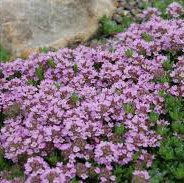 Photo of Thymus serpyllum