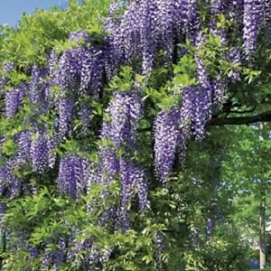 Photo of Wisteria floribunda
