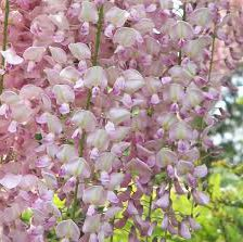 Photo of Wisteria floribunda 'Rosea'