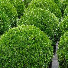 Photo of Buxus sempervirens ball 50cm